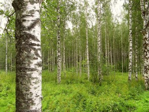 Birkenwald in Finnland von Paul Lenz